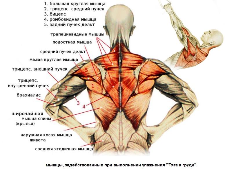 Все мышцы спины и где они находятся