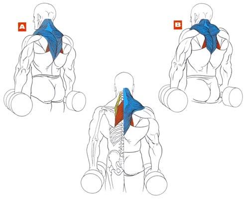 Шраги, какие мышцы работают